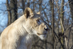 White lioness (Panthera leo krugeri) royalty free stock photo