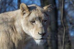 White lioness (Panthera leo krugeri) stock images