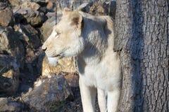White lioness (Panthera leo krugeri) stock photos