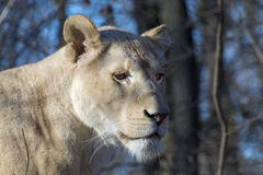White lioness (Panthera leo krugeri) royalty free stock photos