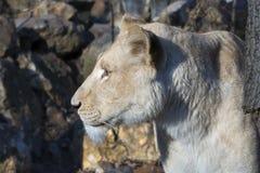 White lioness (Panthera leo krugeri) stock image