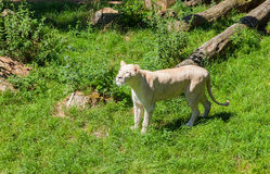 White Lioness Stock Images
