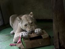 White lioness playing. White South-African lion Panthera leo krugeri is playing with a paper box stock images