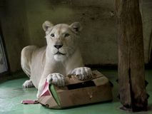 White lioness playing. White South-African lion Panthera leo krugeri is playing with a paper box royalty free stock images