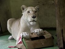 White lioness playing. White South-African lion Panthera leo krugeri is playing with a paper box royalty free stock image
