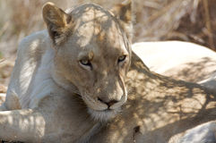 White Lioness Portrait Royalty Free Stock Images