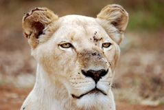 White Lioness Portrait stock photo
