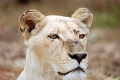 White Lioness Portrait. Image of white lioness shot as a close up portrait Stock Photography