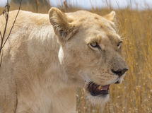 White Lioness Portrait Stock Image