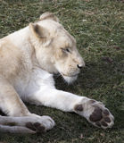 White Lioness Resting on Grass Royalty Free Stock Photo