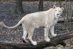 White lioness Royalty Free Stock Photo
