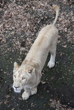 White lioness Stock Photos