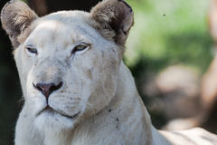 White Lioness Wildlife Stock Image