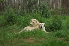White lions. Male and female white lion in breeding camp Royalty Free Stock Photography
