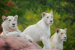White lions Stock Image