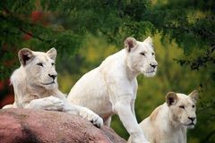 White lions. Snapshot of white lions when travelling at zoo