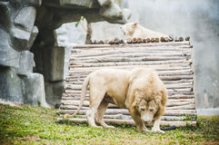 White lions in captivity Stock Image