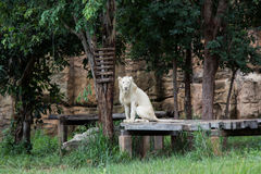 White lions Stock Photography