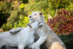 White lions Royalty Free Stock Photos