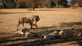 White Lions at Lion Park in South Africa Stock Image
