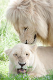 White lions mating Royalty Free Stock Photo