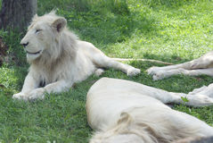 White Lions Resting. Resting White Lions take to some cooler shade areas during the heat of the daytime hours Stock Photo