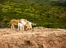 White lions in savanna Royalty Free Stock Images