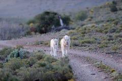 White Lions Royalty Free Stock Photo
