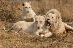 White Lions South Africa. Few White Lions South Africa royalty free stock photography