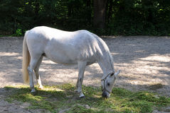 White Lipizaner horse on pasture Stock Photos