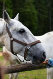 White Lipizzan Horse fed by young girl, unrecognizable. White Lipizzan Horse being fed grass by a young in Stable, unrecognizable, Lipizzan horses are a rare royalty free stock image