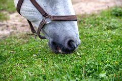White Lipizzan Horse Grazing in Stable, close up stock image