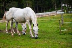 White Lipizzan Horse Grazing in Stable stock photo