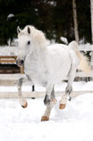 White Lipizzan horse runs gallop in winter Royalty Free Stock Photography