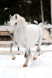 White Lipizzan horse runs gallop in winter. Season Royalty Free Stock Photography