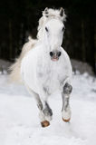 White Lipizzan horse runs gallop in winter Stock Photo