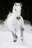 White Lipizzan horse runs gallop in winter. White Lipizzan horse runs gallop on the dark background Stock Photo