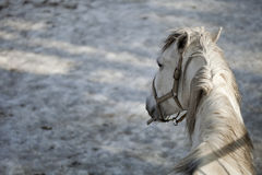 Lipizzan horse. White lipizzan horse - Zoo Czech Republic Stock Photo