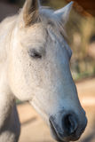 White Lipizzaner. Close portret of white horse, Lipizzaner whit eyes half closed Royalty Free Stock Image