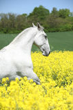 White lipizzaner in colza field Royalty Free Stock Image