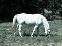 White Lipizzaner grazing Stock Photography