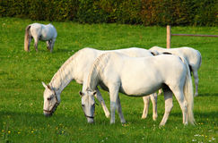 White lipizzaner horse Stock Images