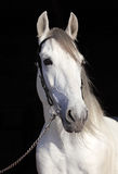 White Lipizzaner horse with bridle Stock Photo