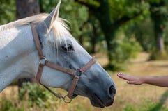White Lipizzaner horse stock photography