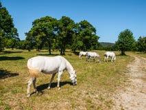 White Lipizzaner Horses Royalty Free Stock Image