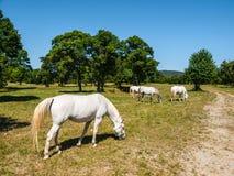 White Lipizzaner Horses Royalty Free Stock Photography