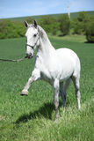 White lipizzaner showing itself Royalty Free Stock Images