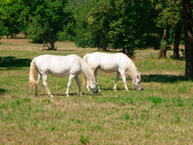 White Lipizzaners grazing Stock Photography
