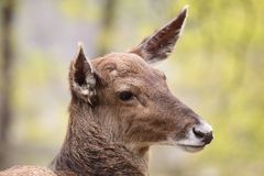 White-lipped deer Royalty Free Stock Images