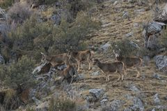 White-Lipped Deers Przewalskium albirostris or Thorold Deer in a mountainous Tibetan Area, China Royalty Free Stock Photography